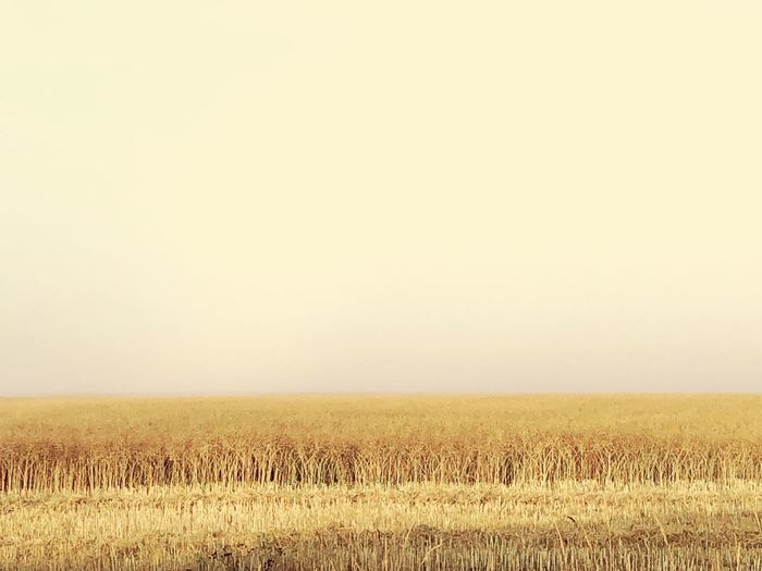 Misty day Field Land Sky Agriculture Tranquil Scene Plant Landscape Tranquility Beauty In Nature Environment Rural Scene Nature Growth Clear Sky No People