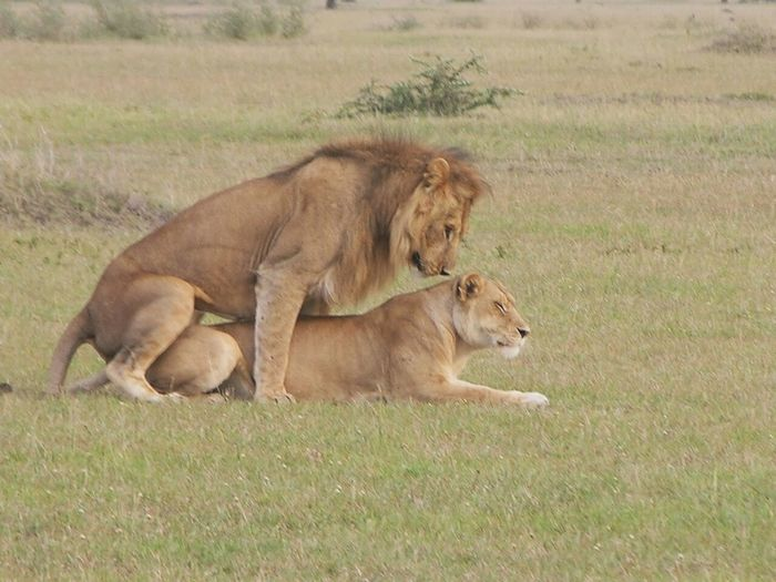 They are mating;Lions,by Aman Amasi Animals In The Wild Lioness Lion - Feline Grass Animal Wildlife Day No People Mammal Animal Themes Safari Animals Outdoors Nature