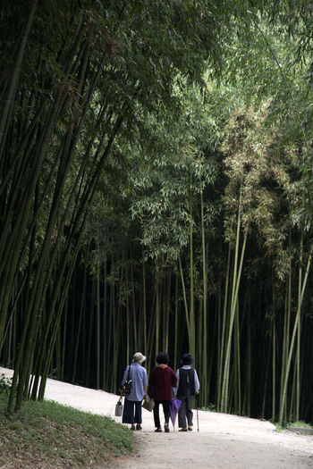 Juknokwon, the famous bamboo park in Damyang, Jeonnam, South Korea Damyang Juknokwon Adult Bamboo Forest Bamboo Park Beauty In Nature Day Forest Friendship Full Length Growth Men Nature Outdoors People Real People Rear View Togetherness Tree Walking Women