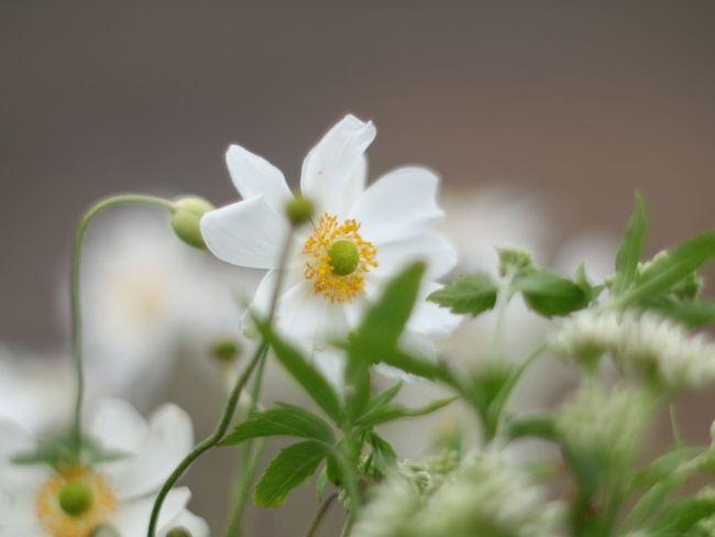 秋明菊 ROKKOR Flower Head Flower Closing Petal White Color Close-up Plant In Bloom