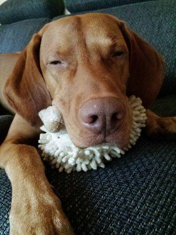 Dog Domestic Animals Animal Themes Ijuma Von Terra Lebusana Magyar Vizsla Vizslaoftheday Vizsla Life Vizsla Hunting Dog EyeEmBestPics EyeEm Best Edits