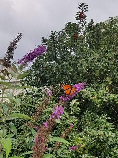 Flower Nature Growth Beauty In Nature Plant No People Outdoors Day Low Angle View Fragility Multi Colored Sky Freshness Flower Head Close-up Monarch Butterfly Insect Butterfly Pennsylvania