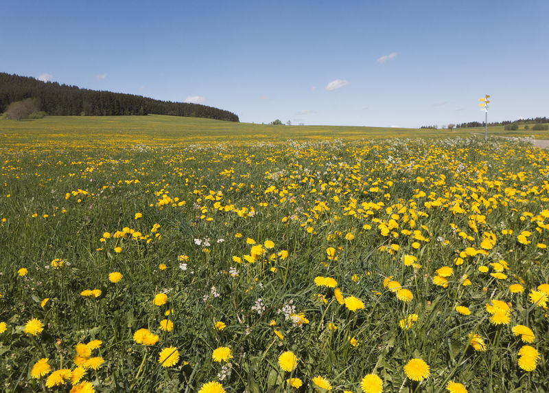 Meadows full of flowering dandelions on the long-distance hiking trail Albsteig on the Swabian Alb in the south of Germany. A beautiful sight. It's spring. Albsteig Flowering Plant Pasture Beauty In Nature Dandelion Environment Field Flower Flowerbed Flowering Plant Growth Land Landscape Meadow Nature No People Outdoors Plant Scenics - Nature Schwäbische Alb Sky Springtime Tranquil Scene Tranquility Yellow