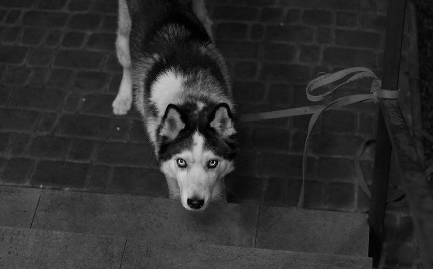 One Animal Mammal Dog Domestic Animals Pets Canine Domestic Portrait Looking At Camera No People Sled Dog Siberian Husky