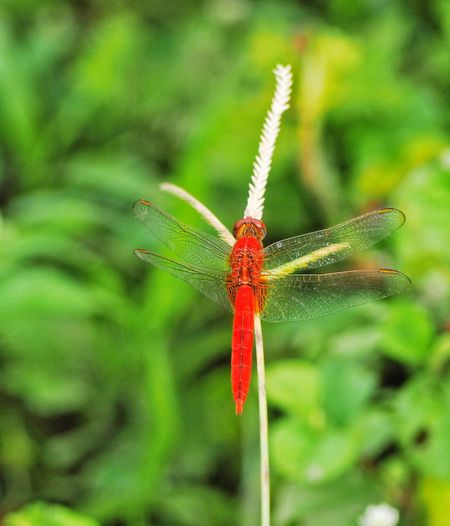 Dragonfly flies to grass island. Leaf Insect Red Full Length Close-up Animal Themes Green Color Plant Damselfly Grasshopper Animals Mating Mating Animal Behavior Sleepy Migrating Beetle Animal Antenna Blade Of Grass Dragonfly Animal Leg Spider Web Arachnid Spider Web Animal Limb Arthropod