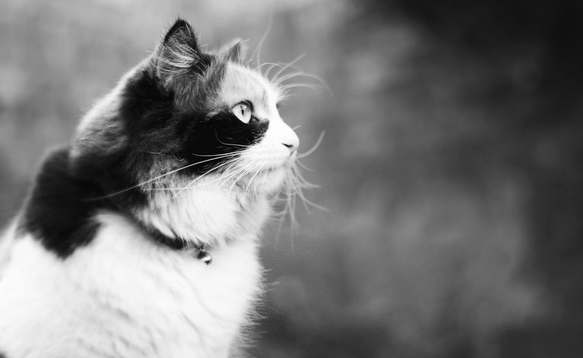 Nancy in black and white. VSCO Vscocam Nikon Nikonphotography Blackandwhite Black And White Black & White Cat Cat Lovers Calico EyeEm Selects Animal Feline Animal Hair Animal Themes Portrait