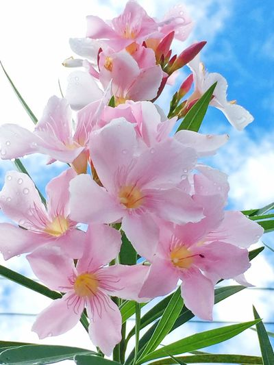 Pink color flower Green Leaves Pink Flower Blue Sky Flower Nature Growth Freshness No People Springtime Botany Day Close-up Stamen Low Angle View Sky Outdoors Plant