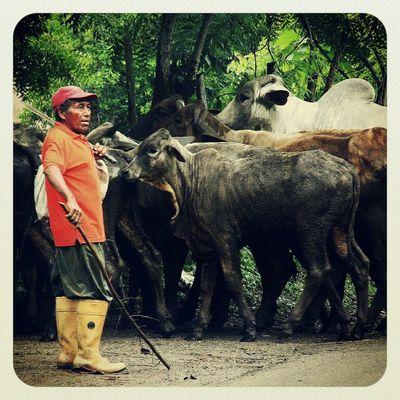 Cows Venezuela Yaracuy