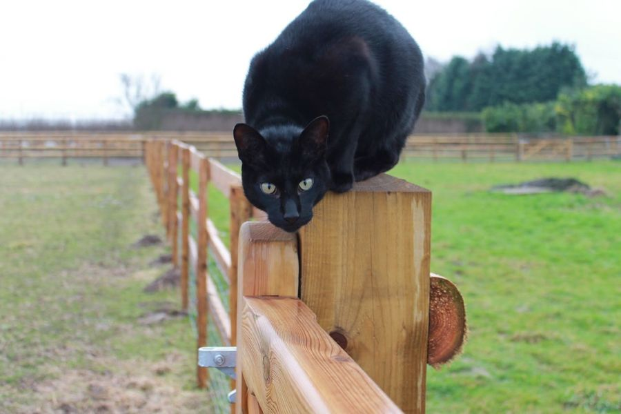 Cat on the fence Cat Hunting  Black Cat Black Siamese