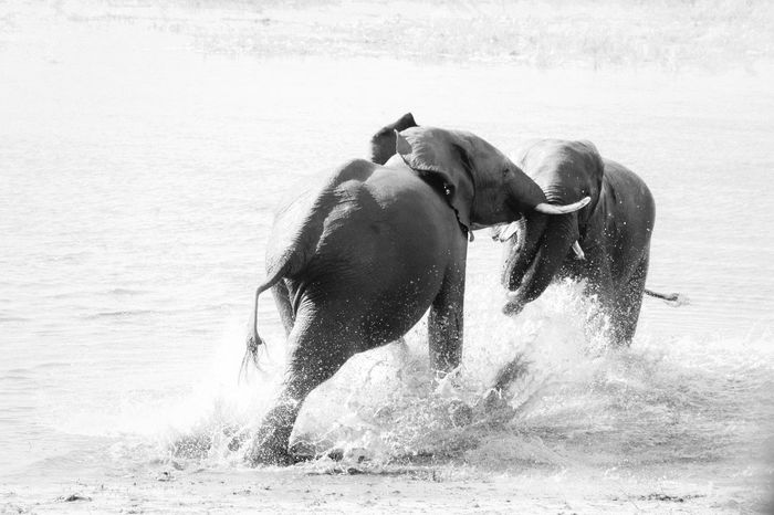 Two dominants elephants fighting in the Chobe River Animal Fight Ivory Aggression  Aggressive Animal Animal Aggression Animal Head  Animal Themes Animal Trunk Animal Wildlife Animals In The Wild Day Elephant Elephants Fighting Group Of Animals Herbivorous Mammal Motion Nature Outdoors Splashing Trunk Two Animals Water