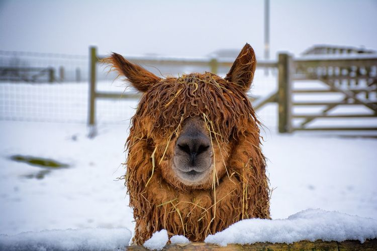 Close-up of llama standing on snow covered field