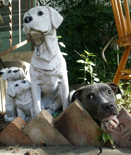 Dogs Porch Life Puppy Adorable Statue Curious Dog Pitbull Blue Nose Pitbull Blue Pit Austin Texas Hydepark