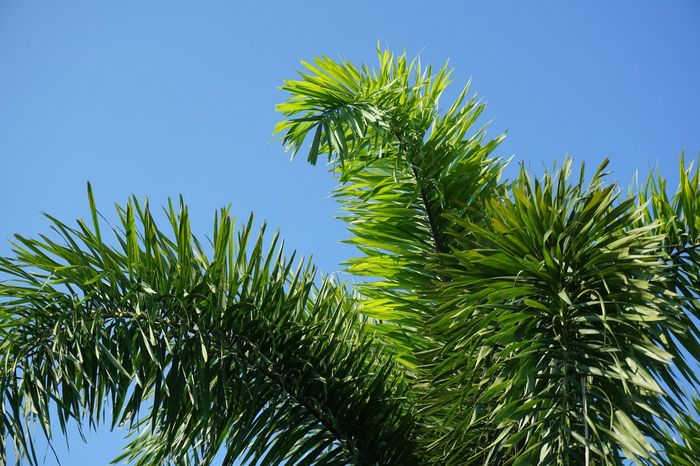 Foliage Plant Palm Tree Beauty In Nature Blue Blue Sky Clear Sky Close-up Day Foliage Freshness Garden Green Color Growth Leaf Leaf Vein Leaves Low Angle View Nature No People Outdoors Palm Tree Plant Sky Tree