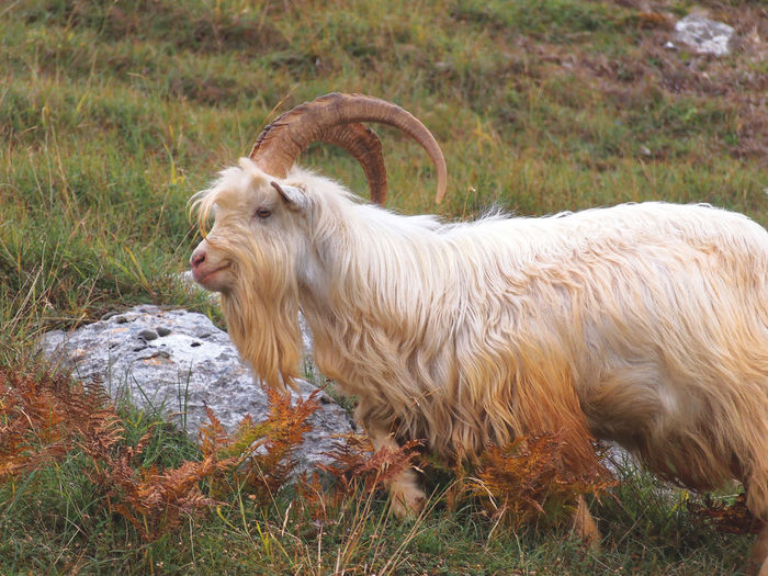 Goats Animal Themes Day Domestic Animals Field Grass Great Orme Mammal Nature No People North Wales Outdoors