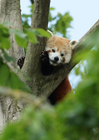 Red Panda Red