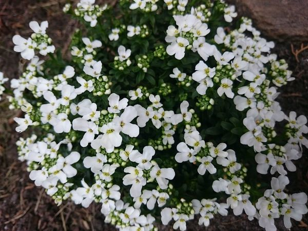 Flower Nature Growth Beauty In Nature Freshness White Color Plant Green Color Fragility Outdoors Flower Head No People Day Blooming Close-up At Home Sunnyday☀️ Meisterweg Neu Wulmstorf