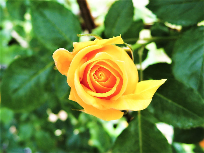 Beauty In Nature Blooming Close-up Day Flower Flower Head Focus On Foreground Freshness Green Green Color Growth Leaf Leaves Nature No People Outdoors Petal Plant Rose - Flower Rosé Yellow Yellow Color Yellow Flower