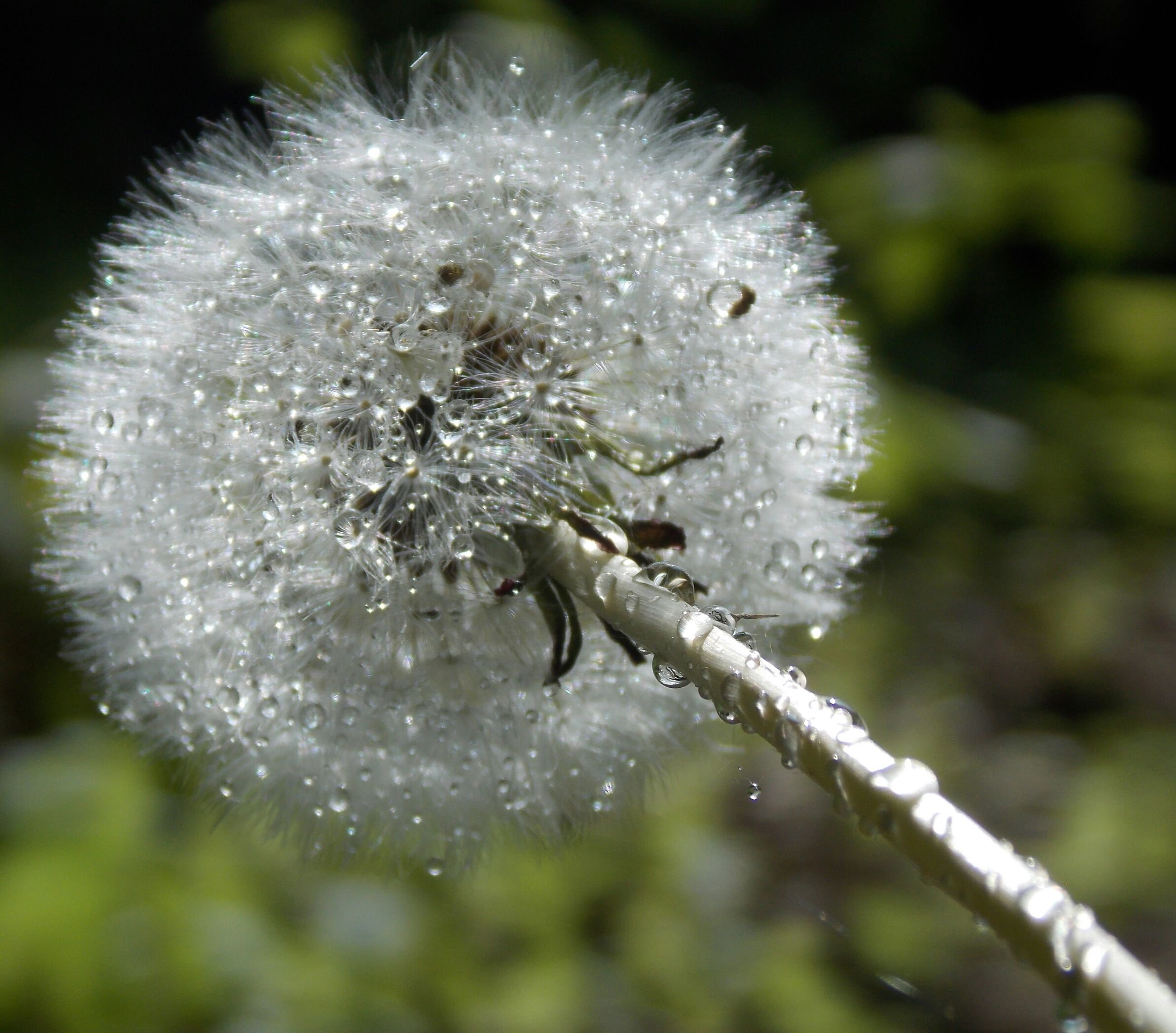flower, close-up, fragility, animal themes, animals in the wild, focus on foreground, wildlife, white color, one animal, growth, nature, freshness, beauty in nature, dandelion, single flower, flower head, selective focus, insect, plant, day