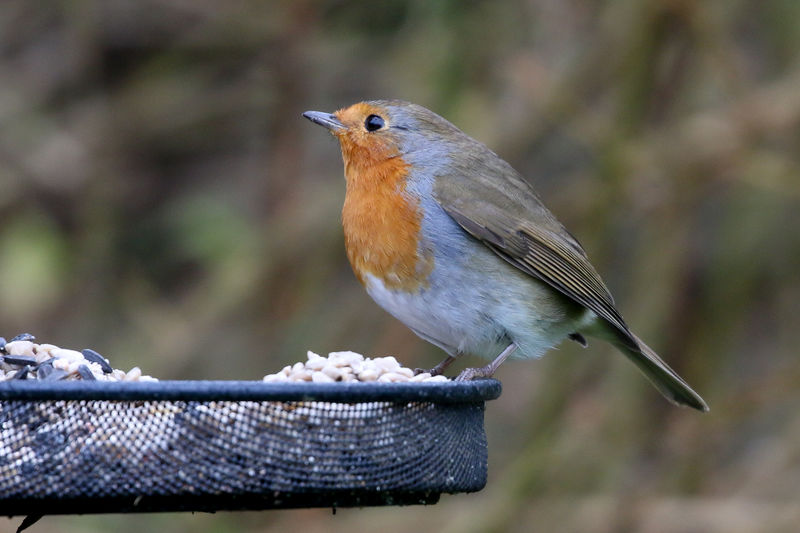 Winter Robin Bird Animal Themes Animal Wildlife Animals In The Wild Animal Vertebrate One Animal Perching Focus On Foreground Close-up Day Robin No People Wood - Material Side View Outdoors Beauty In Nature Nature Songbird  Full Length