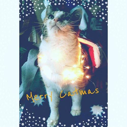 Merrycatmas MerryChristmas Christmascat Tinker Catsofinstagram Worlddofcats Catworld Cat Cats Catstagram Hellocat Catmorning Catmoments HappyCat