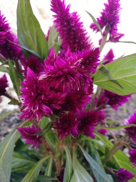 Flower Head Flower Leaf Eastern Purple Coneflower Thistle Purple Pink Color Petal Springtime Close-up