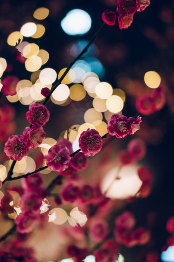 Close-up of pink flowering plants at night
