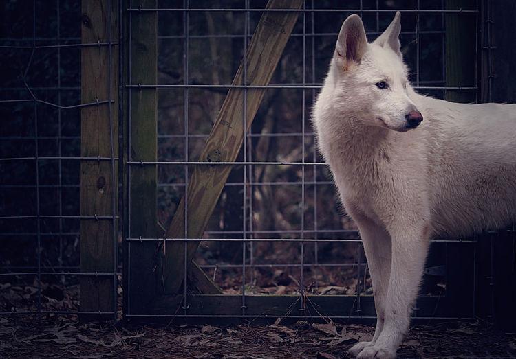 White Wolf Wolf