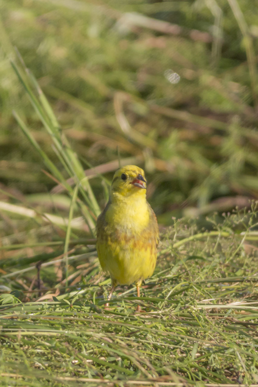 bird, one animal, animal themes, green color, no people, animals in the wild, yellow, perching, nature, grass, day, outdoors, close-up