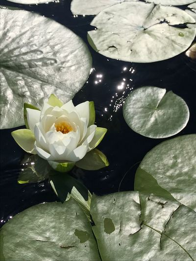 Kayaking In Nature Flower Plant Flowering Plant Beauty In Nature Leaf Freshness Water Nature Fragility Flower Head Plant Part Lake Floating On Water No People Petal Water Lily Close-up