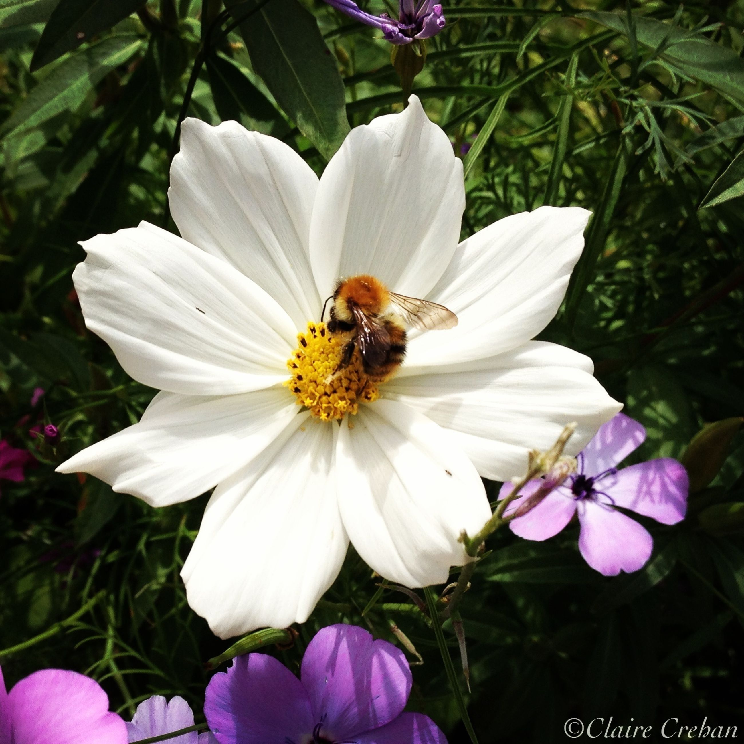 flower, insect, animal themes, one animal, animals in the wild, petal, wildlife, freshness, flower head, fragility, pollination, bee, growth, beauty in nature, pollen, white color, symbiotic relationship, nature, plant, close-up