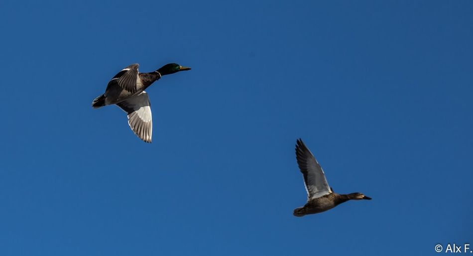 Spring is in the air... They Are Back Birds Fly Springtime Geese