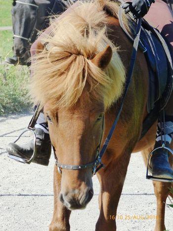 Hrimnir, dieses super liebe und tolle Islandpferd ! Icelandighorse Lumix Animalfotography
