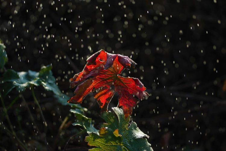 Close-up of wet red leaves on plant during rainy season