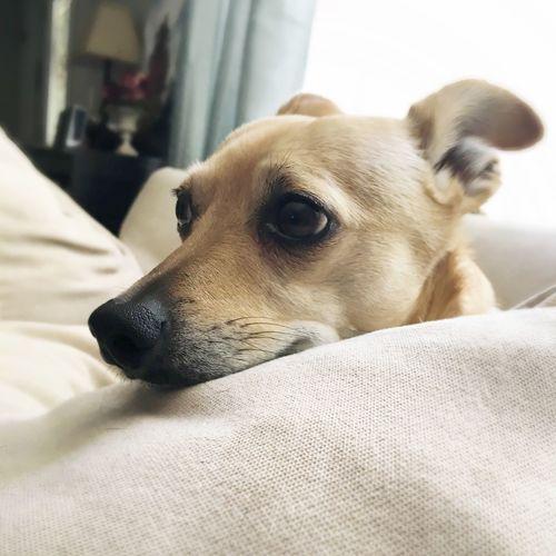 Close-up of dog resting on sofa