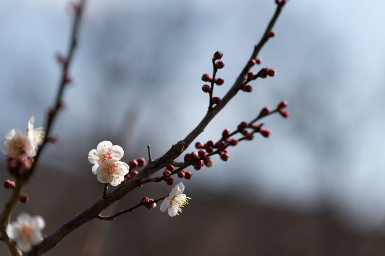 Plant Growth Flower Beauty In Nature Tree Freshness Fragility Branch Vulnerability  Flowering Plant Focus On Foreground Close-up Twig Blossom Nature Springtime No People White Color Day Selective Focus Plum Blossom Outdoors Flower Head Pollen Cherry Blossom