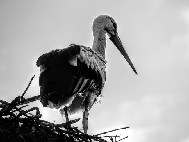 Animal Wildlife Animals In The Wild One Animal Animal Themes Bird No People Outdoors Day Nature Sky Bird Stork Storks In The Wild Alsace France Blackandwhite Blackandwhite Photography Bkackandwhite Black And White Bird Photography Storks Storks In The Village Black & White Black And White Photography Blackandwhitephotography