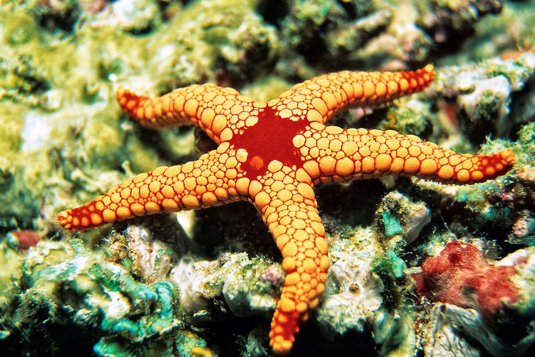 Pearl Sea Star, Indian Ocean, Maldives Fromia Monilis Indian Ocean Maldives Maschenseestern Perl-Seestern Perlen-Seestern Seestern Animal Animal Themes Animal Wildlife Animals In The Wild Beauty In Nature Marine Nature One Animal Pearl Sea Star Pearl Starfish Red Mesh Starfish Sea Sea Life Sea Star Starfish  UnderSea Underwater Unterwasser