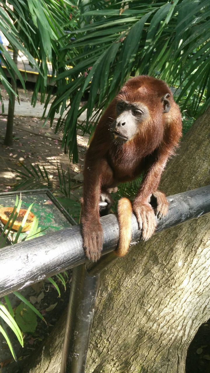 animal themes, mammal, animal wildlife, animal, tree, one animal, animals in the wild, plant, primate, vertebrate, no people, day, monkey, nature, branch, outdoors, sitting, animals in captivity, relaxation, zoo, bamboo - plant