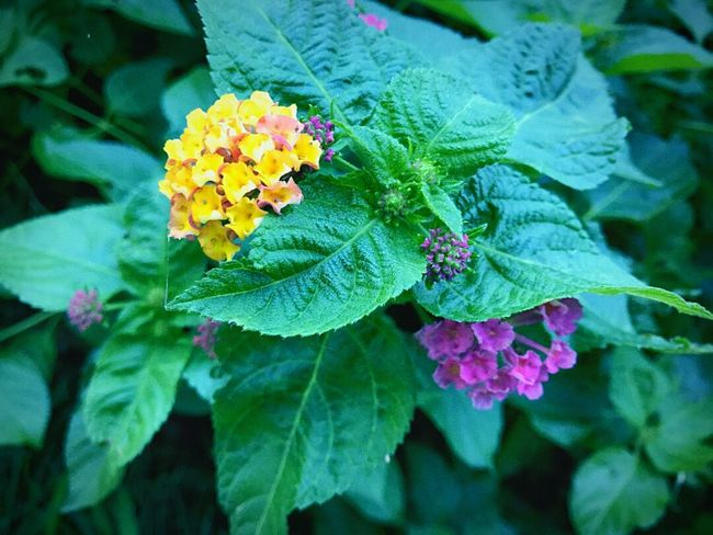 Flower Leaf Plant Nature Freshness Growth Beauty In Nature Fragility Outdoors Multi Colored Day Petal Green Color No People Flower Head Close-up Lantana Camara
