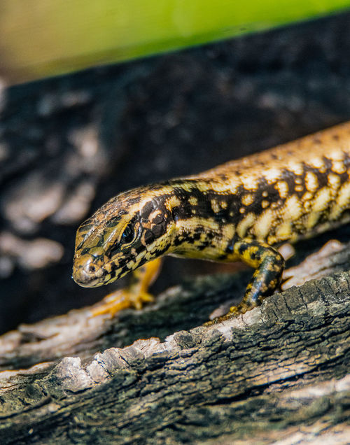 Corangamite Water Skink (Eulamprus tympanum marnieae) One Animal Animal Themes Animal Wildlife Animal Animals In The Wild Reptile Vertebrate Close-up No People Nature Lizard Day Outdoors Solid Animal Head  Animal Markings Animal Scale Water Skink Skink Wildlife Reptile