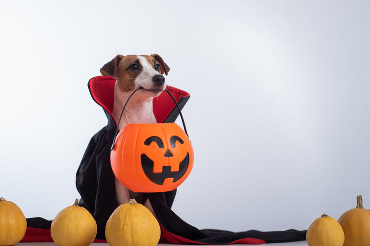 Close-up of a dog with pumpkin on the background