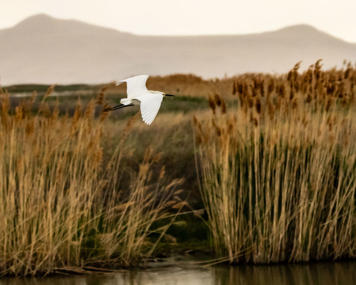 A Snowy Egret soars above the marshlands of the Bear River Migratory Bird Refuge in Northern Utah. Utah Wildlife Animal Themes Animal Wildlife Animals In The Wild Bear River Bird Refuge Beauty In Nature Bird Bird Refuge Day Egret Flying Focus On Foreground Grass Nature No People One Animal Outdoors Plant Selective Focus Snowy Egret Utah Birds Water