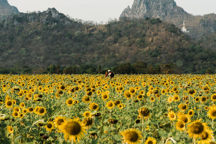 Sunflower fields in Lopburi, Thailand Plant Beauty In Nature Field Growth Land Flower Nature Yellow Flowering Plant Freshness Flower Head Sunflower Outdoors Lopburi Lopburi Thailand Lopburi Location Lopburi, Thailand Thailand_allshots Thailandtravel Thailand Photos Thailand🇹🇭 Thai