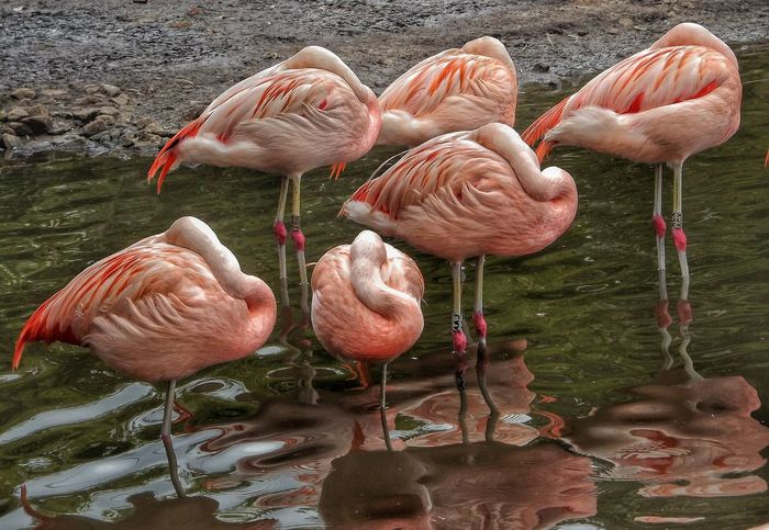 A flock of flamingos fast asleep Fine Art Photography Scenery With A Pond Scenery Shots Fujifilm Hdr_captures Malephotographerofthemonth Creative Light And Shadow Color Photography Nature Photography EyeEm Best Shots - HDR Beauty In Nature Wildlife And Nature EyeEm Best Shots - Nature Animal Photography Beauty Of Nature Birds Wildlife Birds Close Up Photography Flamingos Flamingos In Water Flamingos Everywhere EyeEm Animal Lover Pink Flamingos Pink Color Color Palette Nature And Wildlife By Tony Bayliss