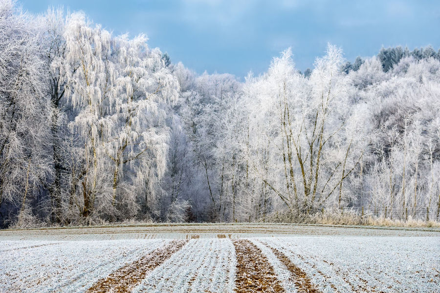 Trees were powdered with hoar frost on a cold winter morning, country has a frosted sugar-like coating, Germany Field Frozen Hoarfrost Wintertime Advection Frost Beauty In Nature Broadleaf Cold Temperature Countryside Enchanted Forest Forest Frosty Hoar Frost Landscape Nature Outdoors Rime Frost Scenics Snow Tranquility Tree Winter Winter Wonderland Wintry Trees ıce Shades Of Winter