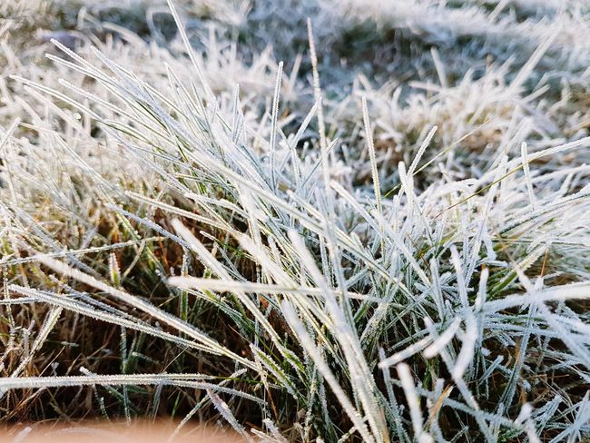 Frozen grass... Grass Frozen Nature Outdoors Photograpghy  Cold Temperature Winter Wheat Cereal Plant Rural Scene Backgrounds Field Frozen