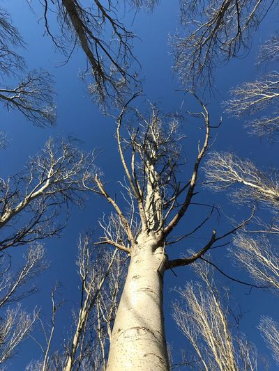 Intotheblue  Trees And Sky Tree Trunk Poplars No People Poplargrove Pioppeto Nature Beauty In Nature Tree Trunk Outdoors Tranquility Trees Arms Perspectives On Nature