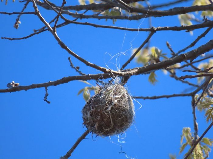 Nest hanging off the branch of a tree low angle view clear blue sky 🌌 EyeEm nature lover outdoors Growth Nature No People