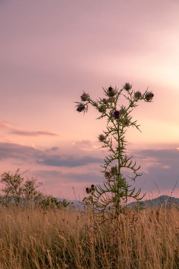 Plant on field against sky during sunset