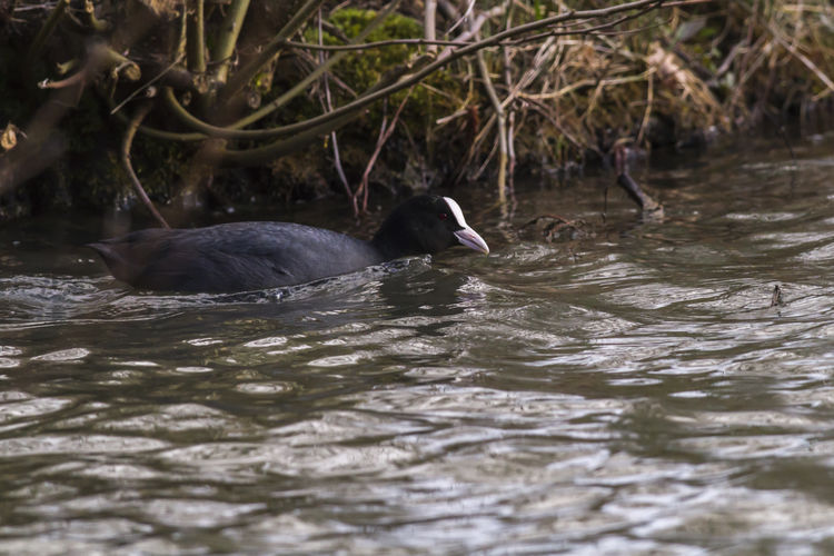An eurasian coot on a pond Coot Bird Feathers Nature Pond Animal Animals Life Animals World Bird Birds Birds Life Birds World Black Coots In A Pond Eurasian Coot Eurasian Coots Feather  Fulica atra Lake Landscape Outdoors Plumage Rail Sea Water Wildlife